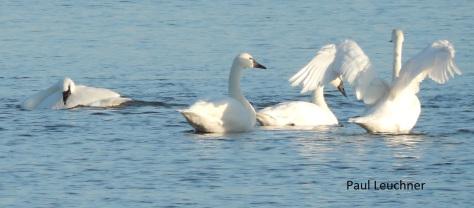 tundra-swans-p-leuchner1