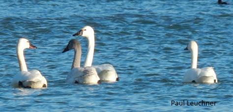 tundra-swans_p-leuchner1